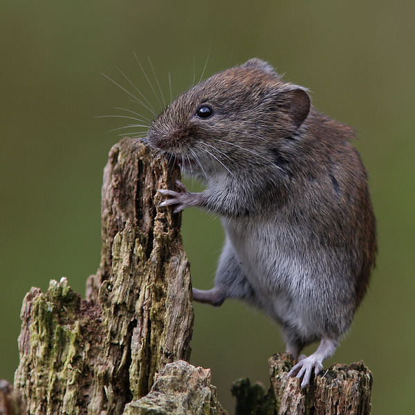 Nature picture: Myodes glareolus / Rosse Woelmuis / Bank Vole