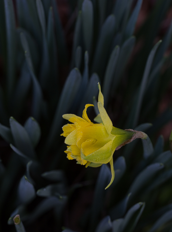 Nature picture: Narcissus sp. / Narcis sp. / Daffodil sp.