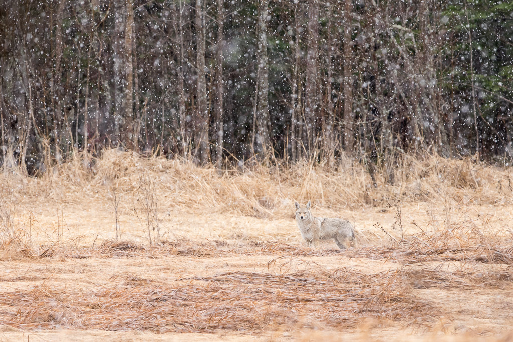 Nature picture: Canis latrans / Prairiewolf of Coyote / Coyote