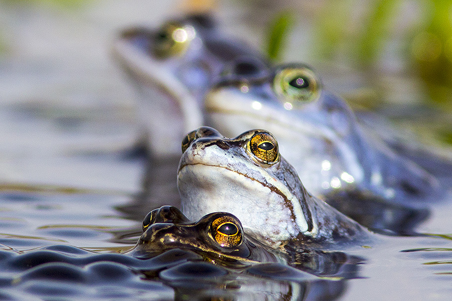 Nature picture: Rana arvalis / Heikikker / Moor Frog