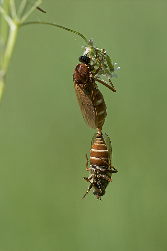Nature picture: Coenomyia ferruginea / Geurvlieg / Stinky Fly