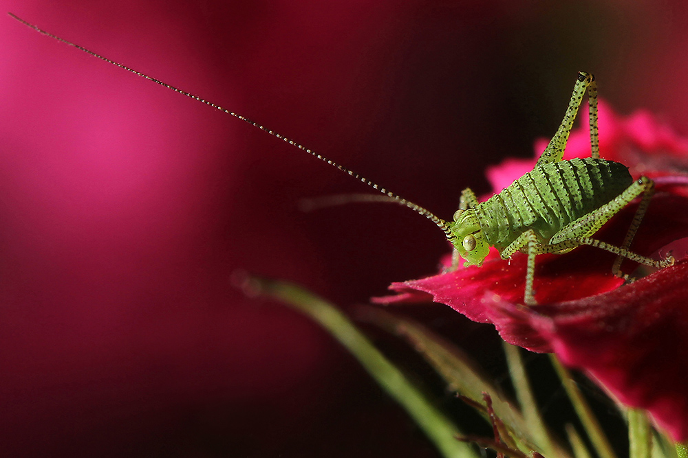 Nature picture: Leptophyes punctatissima / Struiksprinkhaan / Speckled Bush-cricket