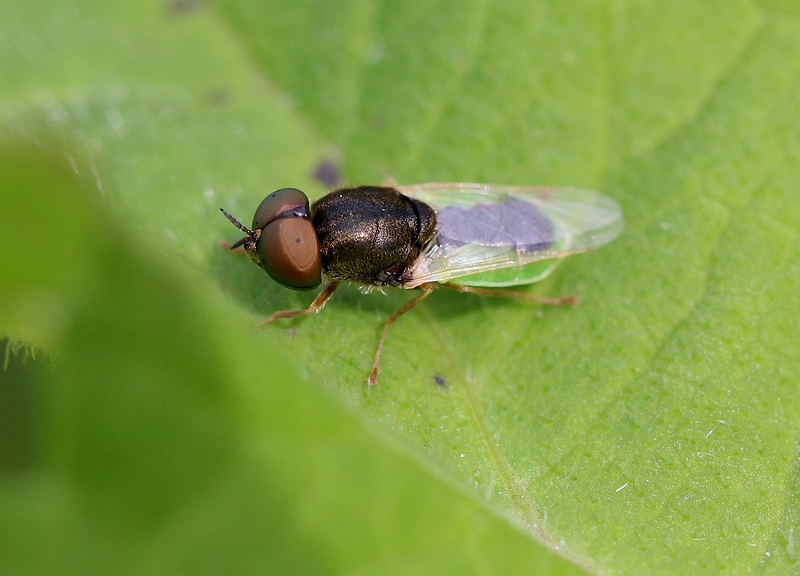 Nature picture: Oplodontha viridula / Kleine Moeraswapenvlieg / Common Green Colonel Fly