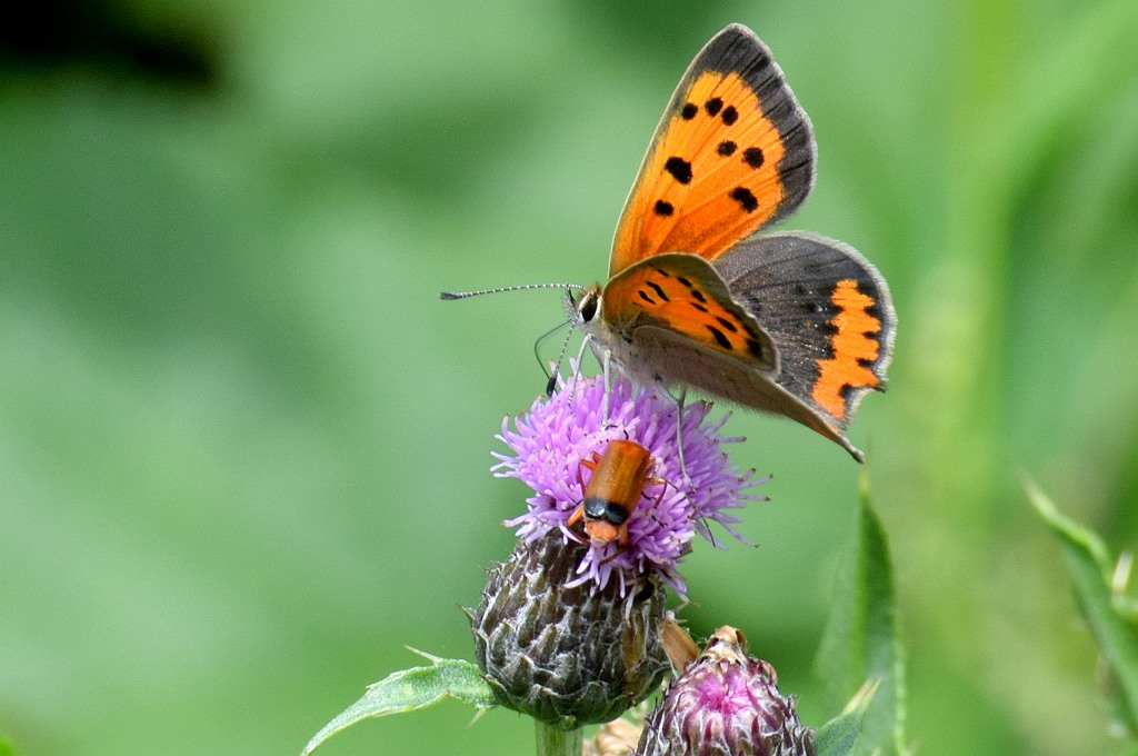 Nature picture: Lycaena phlaeas / Kleine Vuurvlinder / Small Copper