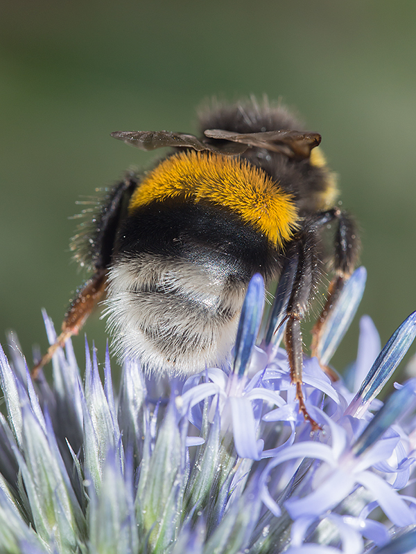 Nature picture: Bombus terrestris / Aardhommel / Buff-tailed Bumblebee
