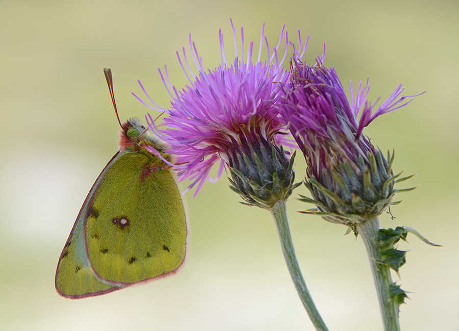 Nature picture: Colias hyale / Gele Luzernevlinder / Pale Clouded Yellow