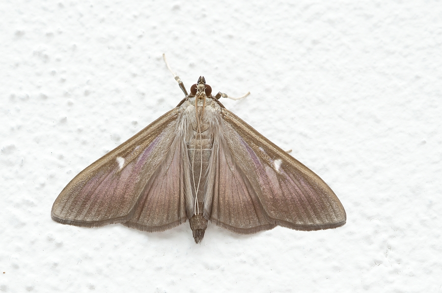 Nature picture: Cydalima perspectalis / Buxusmot / Box Tree Moth