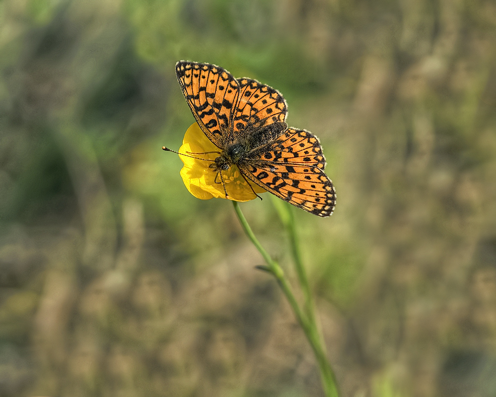 Nature picture: Boloria selene / Zilveren Maan / Small Pearl-bordered Fritillary