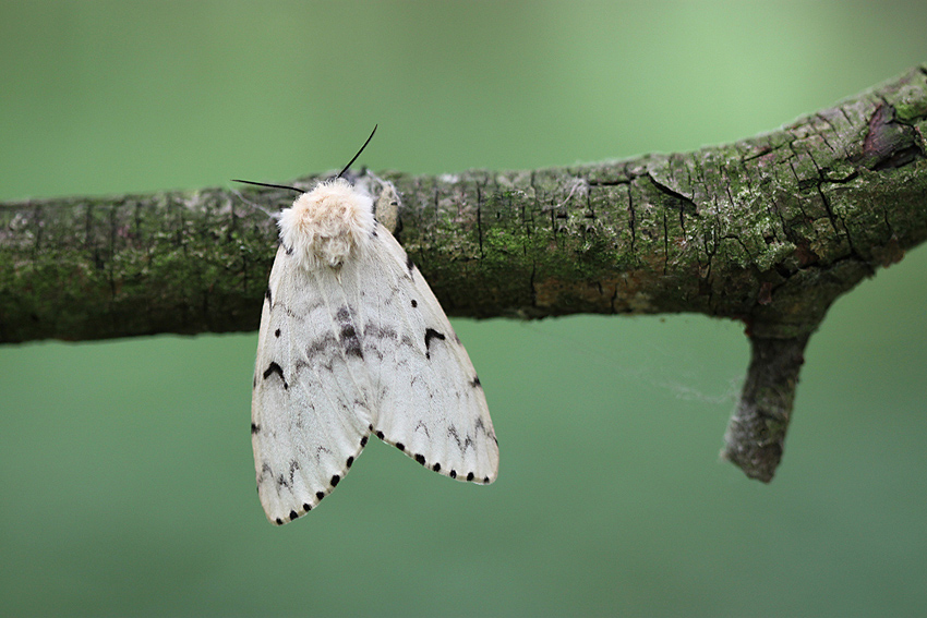 Nature picture: Lymantria dispar / Plakker / Gypsy Moth