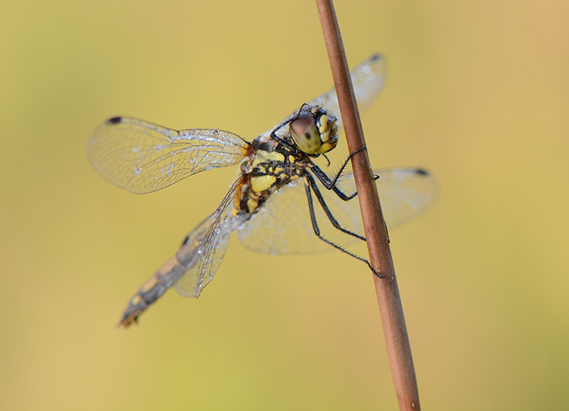 Nature picture: Sympetrum danae / Zwarte Heidelibel / Black Darter