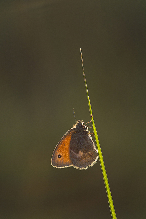 Nature picture: Coenonympha pamphilus / Hooibeestje / Small Heath