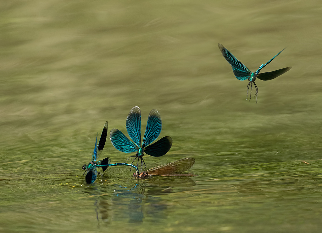 Nature picture: Calopteryx virgo / Bosbeekjuffer / Beautiful Demoiselle