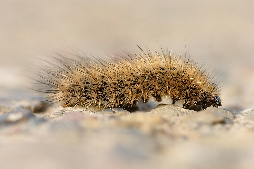 Nature picture: Phragmatobia fuliginosa / Kleine Beer / Ruby Tiger