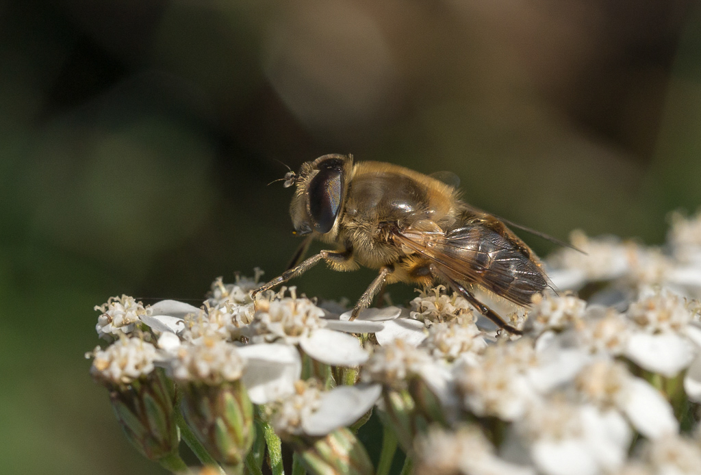 Nature picture: Eristalis tenax / Blinde Bij / Common Drone Fly