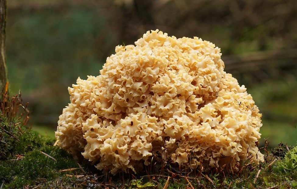 Nature picture: Sparassis crispa / Grote Sponszwam / Wood Cauliflower