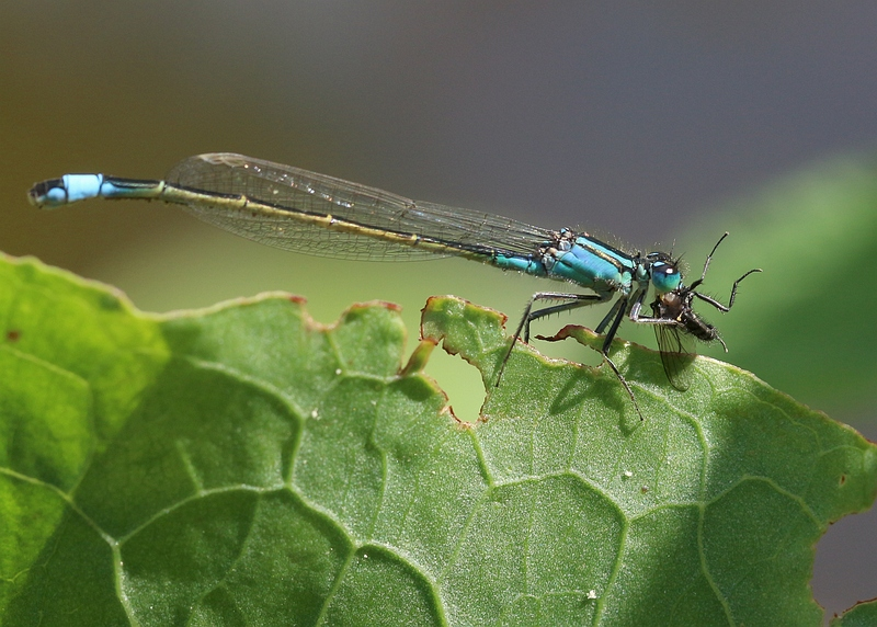Nature picture: Ischnura elegans / Lantaarntje / Blue-tailed Damselfly