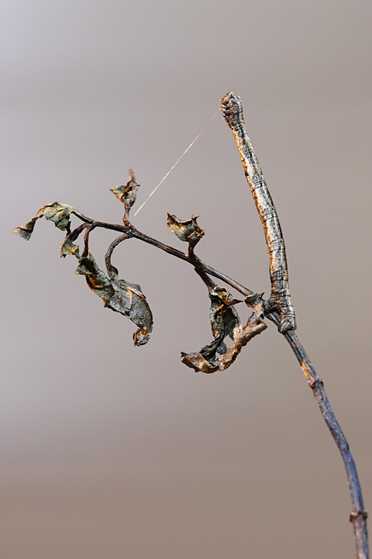 Nature picture: Peribatodes rhomboidaria / Taxusspikkelspanner / Willow Beauty