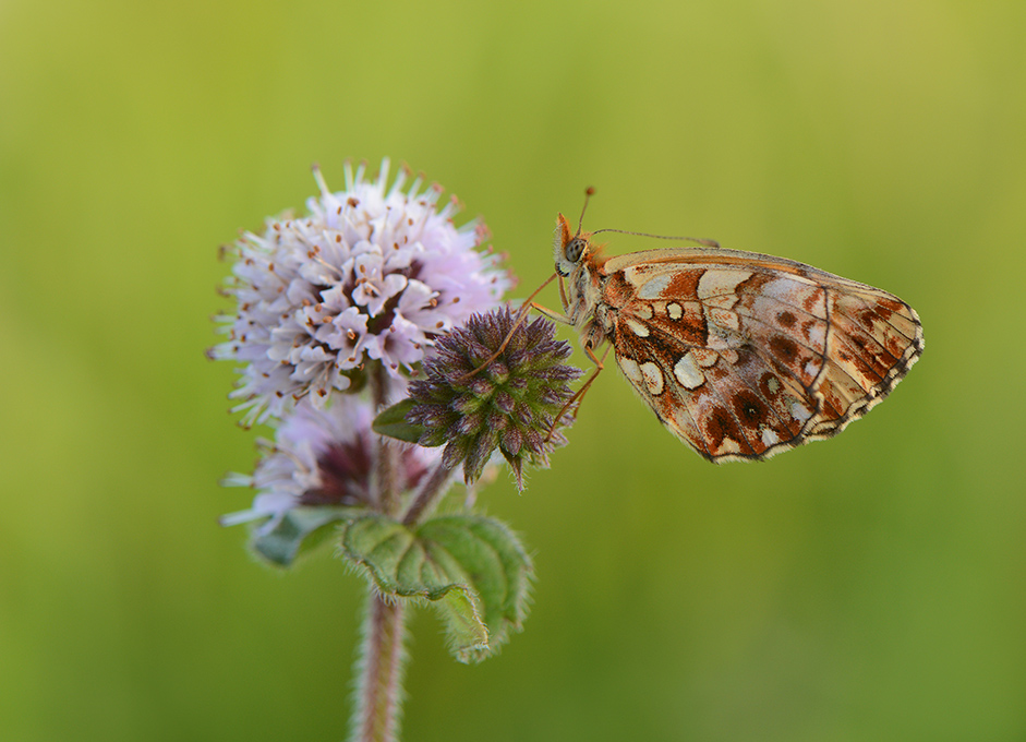 Nature picture: Boloria dia / Paarse Parelmoervlinder / Weaver's Fritillary