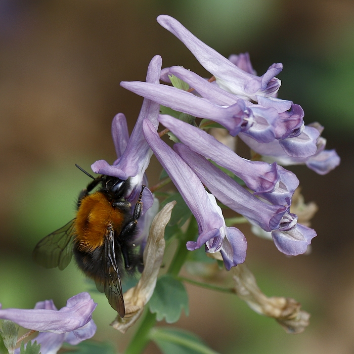 Nature picture: Bombus pascuorum / Akkerhommel / Common Carder Bee