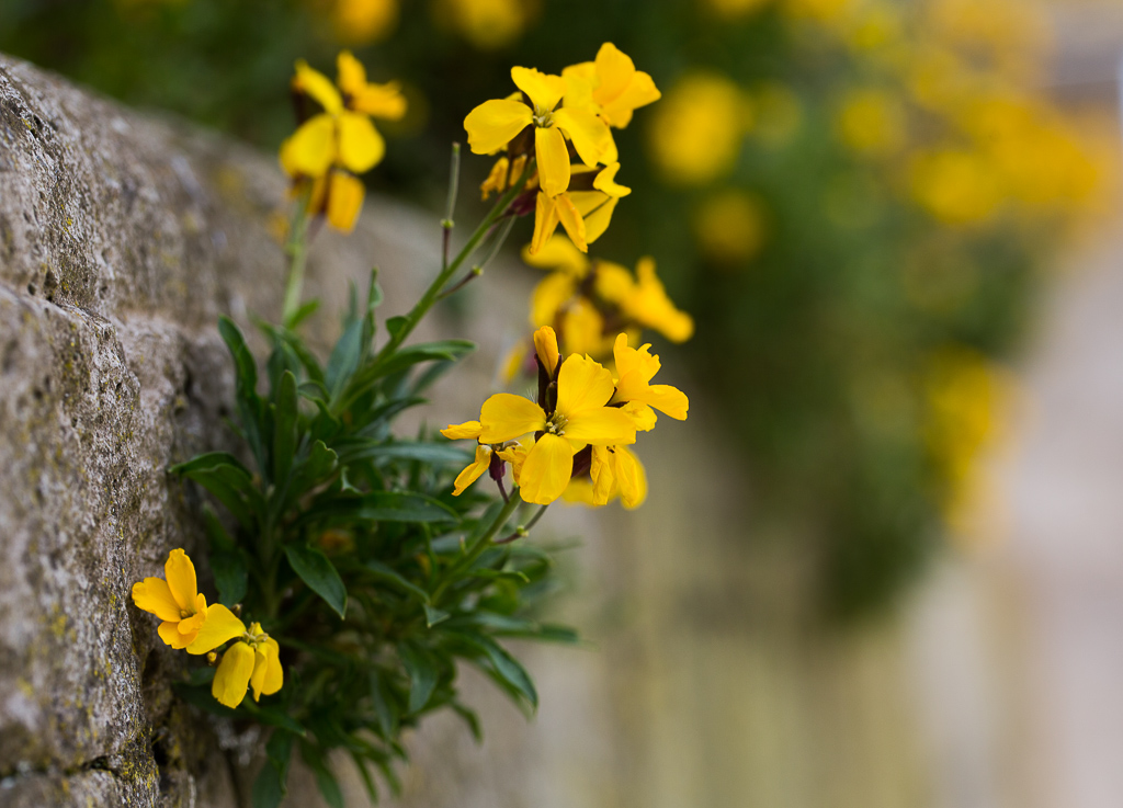 Nature picture: Erysimum cheiri / Muurbloem / Wallflower
