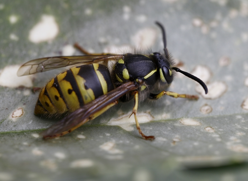 Nature picture: Vespula vulgaris / Gewone Wesp / Common Wasp