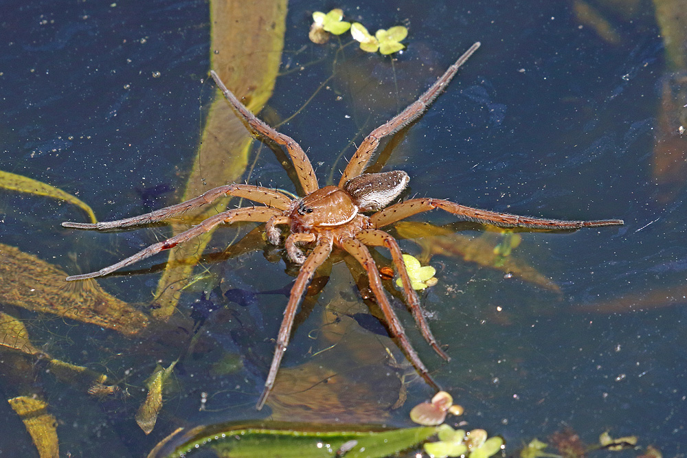 Nature picture: Dolomedes plantarius / Grote Oeverspin / Great Raft Spider