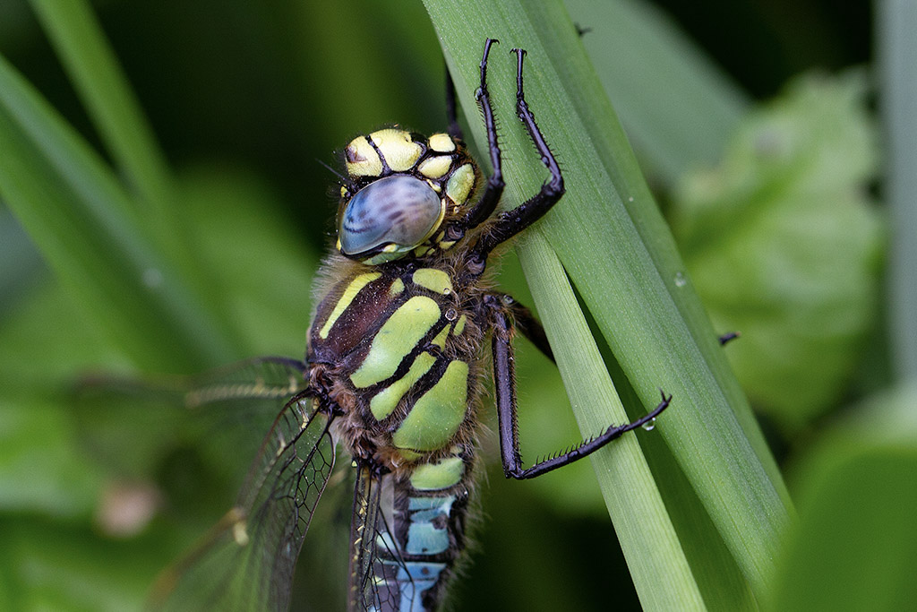 Nature picture: Brachytron pratense / Glassnijder / Hairy Dragonfly