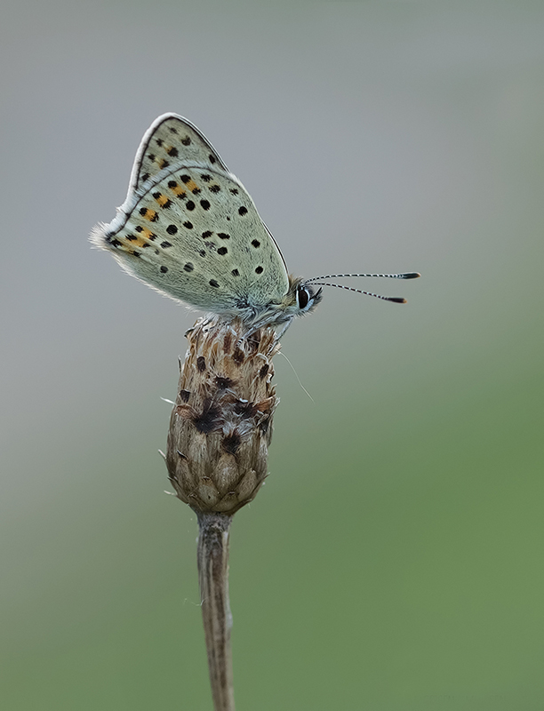 Nature picture: Lycaena tityrus / Bruine Vuurvlinder / Sooty Copper