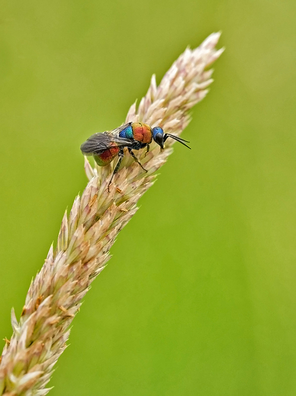 Nature picture: Hedychrum nobile / Juweelwesp / Cuckoo Wasp