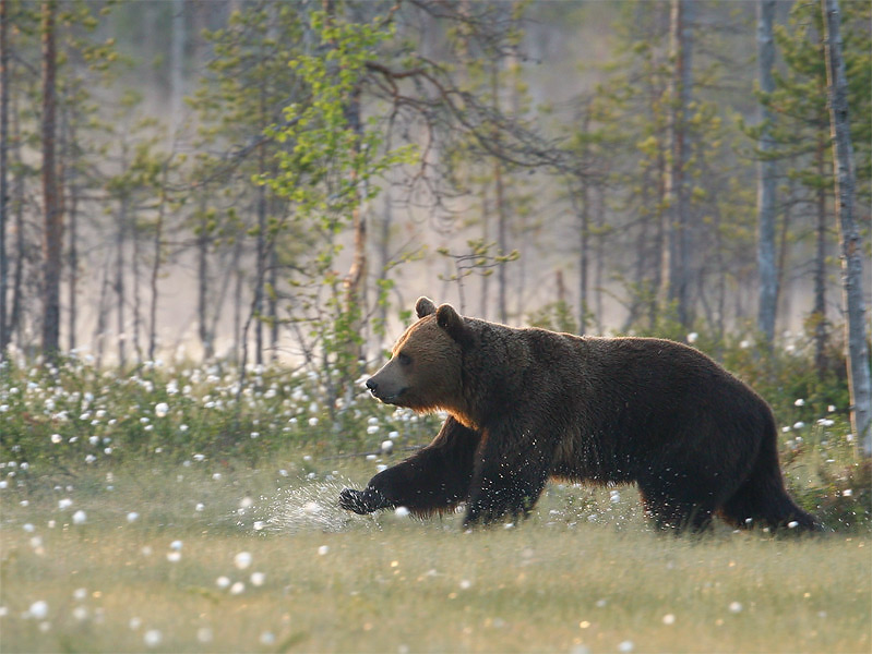 Nature picture: Ursus arctos / Bruine Beer / Brown Bear