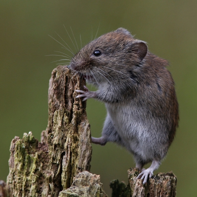 Nature picture: 3. Myodes glareolus / Rosse Woelmuis / Bank Vole