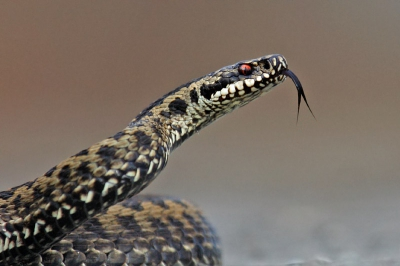 Vipera berus / Adder / Common European Viper