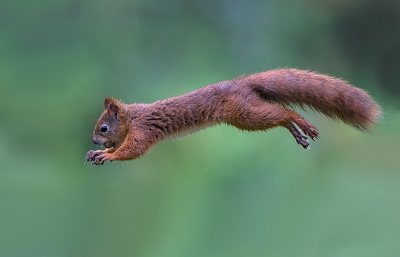 Sciurus vulgaris / Eekhoorn / Red Squirrel