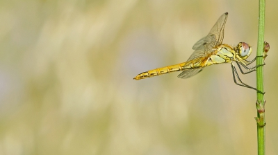 Nature picture: Sympetrum fonscolombii / Zwervende Heidelibel / Red-veined Darter