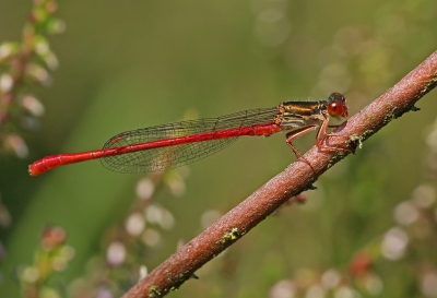 Nature picture: Ceriagrion tenellum / Koraaljuffer / Small Red Damselfly