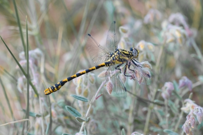 Nature picture: Onychogomphus uncatus / Grote Tanglibel / Pincertail