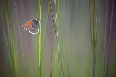 Coenonympha pamphilus / Hooibeestje / Small Heath