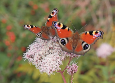 Nature picture: Aglais io / Dagpauwoog / Peacock Butterfly