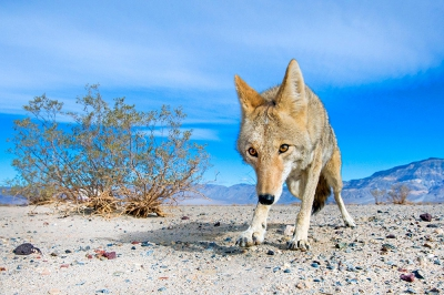 Canis latrans / Prairiewolf of Coyote / Coyote