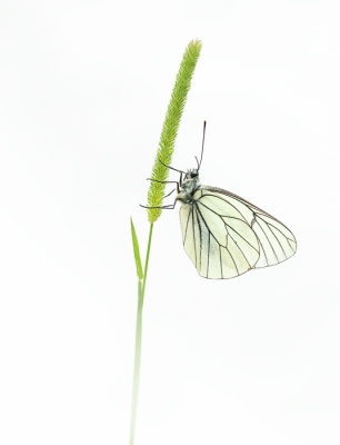 Aporia crataegi / Groot Geaderd Witje / Black-veined White