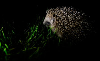 Nature picture: Erinaceus europaeus / Egel / European Hedgehog