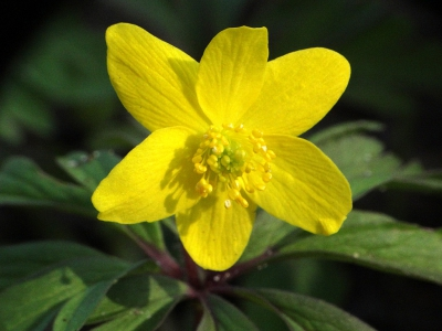 Nature picture: Anemone ranunculoides / Gele Anemoon / Yellow Anemone