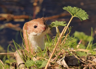 Nature picture: Mustela nivalis / Wezel / Weasel