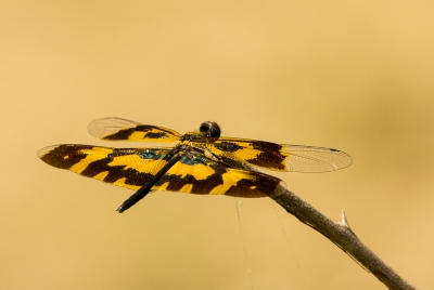 Nature picture: Rhyothemis variegata / Rhyothemis variegata / Common Picture Wing