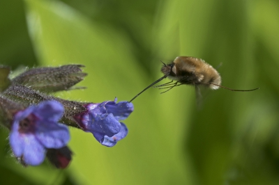 Nature picture: Bombylius major / Gewone Wolzwever / Large Bee-fly