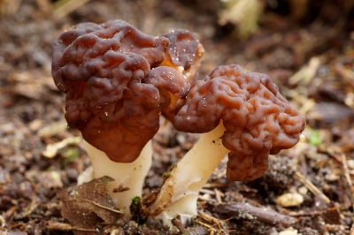 Nature picture: Gyromitra esculenta / Voorjaarskluifzwam / False Morel