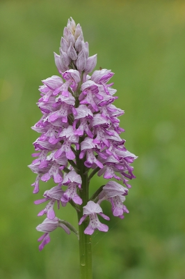 Nature picture: Orchis militaris / Soldaatje / Military Orchid
