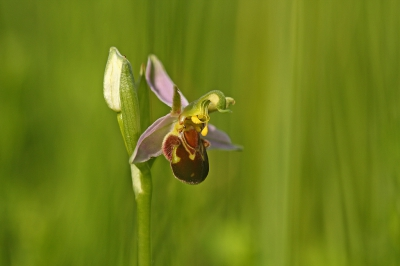 Nature picture: Ophrys apifera / Bijenorchis / Bee Orchid