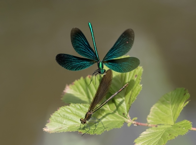 Calopteryx virgo / Bosbeekjuffer / Beautiful Demoiselle