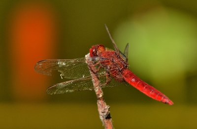 Nature picture: Crocothemis erythraea / Vuurlibel / Scarlet pimpernel